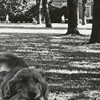 Irish Setter on Wake Forest Campus