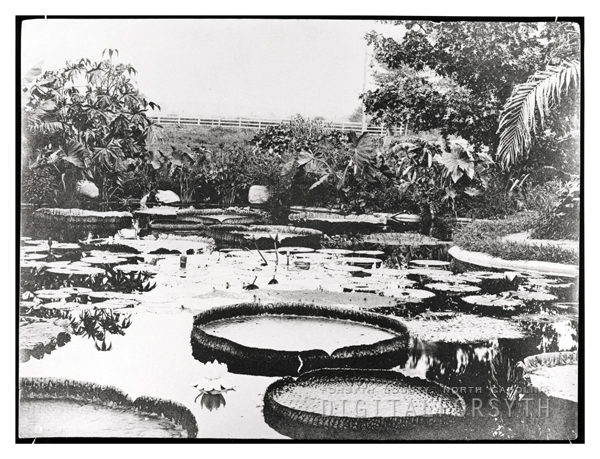 Dr. Bahnson's Lily Pond