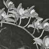 James M. Lindsley with orchids, 1961.