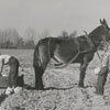 Harvest time on the Dillon farm in Kernersville, 1955.