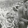 Corn husking near Lewisville, 1940.