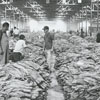 Preparations for a tobacco auction at an unidentified warehouse, 1969.
