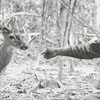 Charlie Oliver, a Tanglewood Park employee, with a deer at the park, 1970.