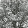 An old oak tree at the Manor House at Tanglewood Park, 1970.