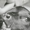 """""""Little Bit,"""" a black angus calf, being fed by bottle, 1970."""