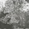 Gathering black walnuts at Tanglewood Park, 1954.