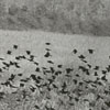 Starlings flying in a field, 1964.